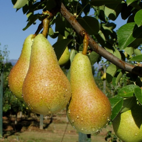 Pears are one of the products that will be highlighted during the campaign