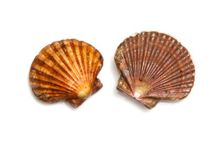 Fresh Scallops saltwater clams isolated on a white studio background.; Shutterstock ID 263007416
